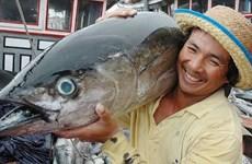 今年上半年越南金枪鱼出口增速反弹