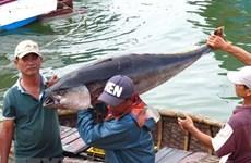 越南中部以南地区沿海各省积极实施《渔业法》并多措并举解除欧盟IUU黄牌警告
