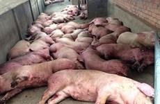 政府总理就采取措施防止非洲猪瘟疫情入境越南做出指示