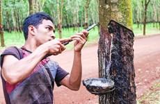 1-8月柬埔寨橡胶出口量增长21%