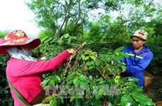 山罗省——越南阿拉比卡咖啡树最大种植区
