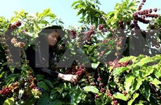 2018年越南咖啡出口量可达170万吨  创汇35亿美元