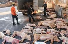非洲猪瘟疫情应急处置模拟演练在老街省举行