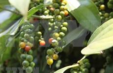 今年前11月越南胡椒出口额达22万吨 创汇7.18亿美元