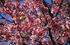 """""""赴帕框欣赏樱花""""的奠边-帕框-樱花节将于2019年1月开场"""