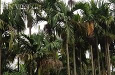 槟榔树成为南定省居民的脱贫致富之树