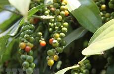 致力提升胡椒质量 改善胡椒价格下跌状况