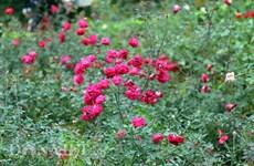 越南最大玫瑰花园——河内居民新奇的春游目的地