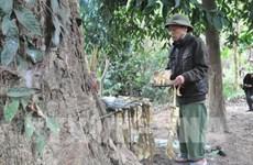 安沛省文安县纳侯乡蒙族的森林祭祀仪式