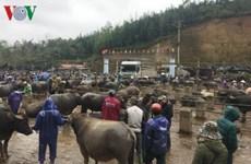北部山区最大而独特的家畜集市