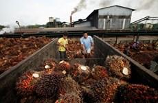 2019年印尼和马来西亚棕榈油产量将刷新纪录