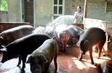 越南宁平省非洲猪瘟防控取得显著成效