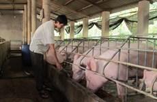 宁平省华闾县宣布非洲猪瘟疫情结束