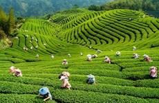 越南2019年第一季度茶叶出口额增长15.4%