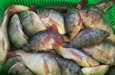 越南罗非鱼有望扩大美国市场份额