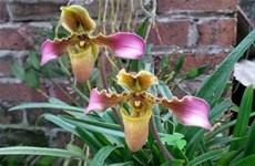 努力保护清化省和北中部地区珍贵的兰花品种
