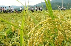 河内市推动粳稻生产  满足出口需求