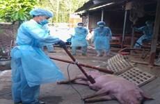 胡志明市出现首个非洲猪瘟疫区
