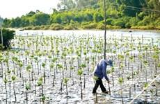 承天顺化省扩大红树林种植面积  有效应对气候变化