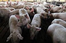 非洲猪瘟疫情继续在老挝蔓延