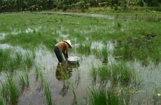 金瓯省幽冥下森林水韭菜为农民带来稳定收入