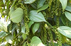 越南对胡椒产业发展意向进行复核