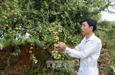 安沛省穆庚寨县集中推进山楂树种植模式