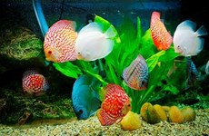让越南观赏鱼游出国门