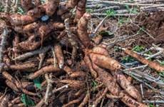 泰国将向中国出口价值为5.9亿美元的木薯产品
