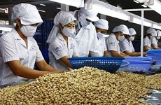越南对中国的腰果出口量猛增