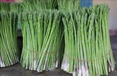 种植青芦笋帮助宁顺省占族同胞走上致富之路
