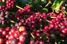 越南得乐省寻找新的发展方向提升咖啡价值