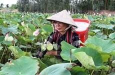 坚江省农民实现农业结构调整 广泛稻田种植莲花