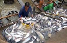 越南查鱼向马来西亚出口呈突破性增长
