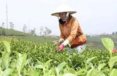 今年前10月茶叶出口增长14%以上