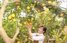 北江省注重柑桔类水果可持续发展及面向出口