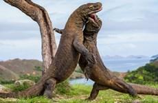 印尼力争吸引更多游客前来科莫多岛参观游览