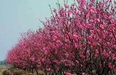 日新桃花盛开 给河内街道添加年味