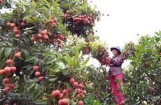 海阳省主动迎来对日本出口荔枝的机会