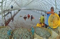 九龙江平原地区大力推动虾出口