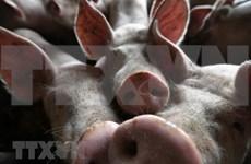非洲猪瘟疫情继续在印尼迅速蔓延