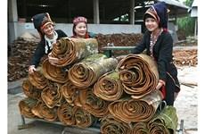 安沛省大力发展肉桂种植 带动农民增收致富