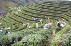 第四次茶叶节即将举行