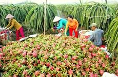 越南隆安省每日通过海路出口50吨火龙果