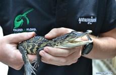 在柬埔寨的豆蔻山中发现了10条濒危的鳄鱼宝宝