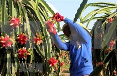 越南向澳大利亚出口5吨红心火龙果