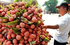 海阳省荔枝将扩大向日本市场出口的机会