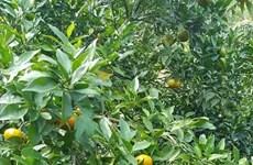 北件省果农努力将兑乡橙子打造成为地方品牌