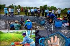 坚江省建立虾类安全养殖区