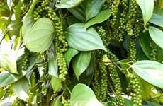 2020年2月份越南胡椒出口额环比增长25.5%